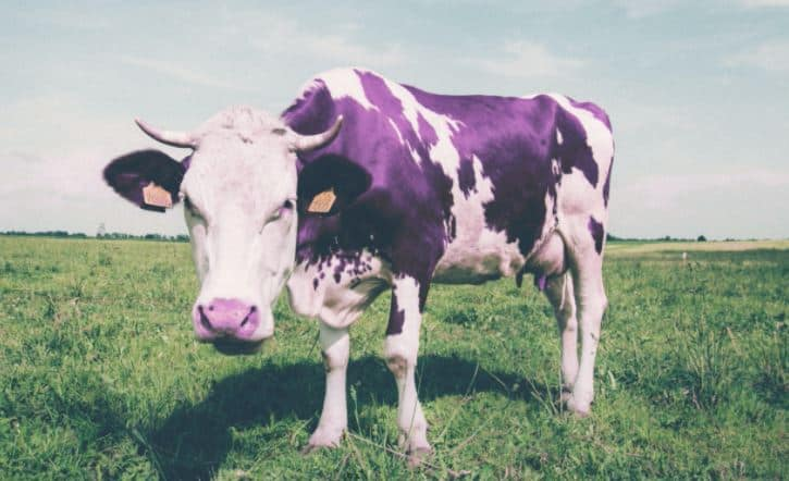Purple Cow on a green field
